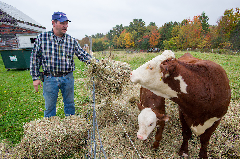 Farmer feeding hay to cattle on a farm in Livermore, Maine.