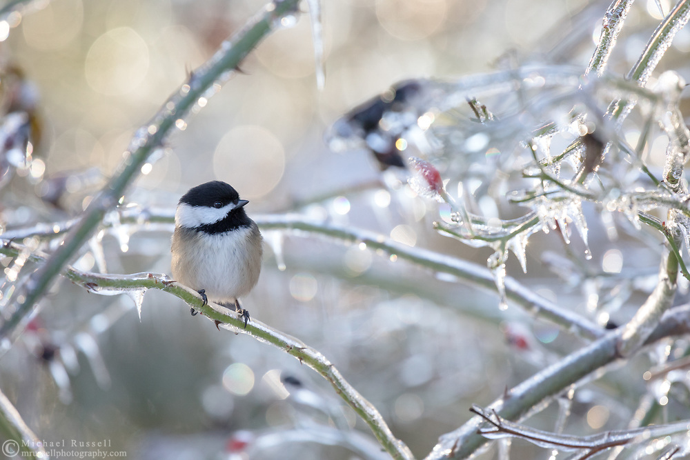An alert Black-capped Chickadee (Poecile atricapillus) sits on an ice covered rose branch after an ice storm (freezing rain) in the Fraser Valley of British Columbia, Canada.