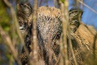 Wild boar, 野猪,Sus scrofa, 2015-04-16,  Tangjiahe Nature Reserve, Sichuan Province, China.