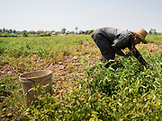 "26 FEBRUARY 2015 - PHNOM PENH, CAMBODIA:   A work crew harvests tomatoes on Koh Dach (""Silk Island"") on the outskirts of Phnom Penh.    PHOTO BY JACK KURTZ"