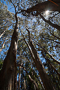 Eucalyptus tree, Hosmer Grove, Haleakala National Park, Maui, Hawaii