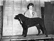 """8/12/1952<br /> 12/28/1952<br /> 28 December 1952<br /> Dog Show, Dublin Society at Portabello Barracks, Miss Clodagh Phipps of Navan with  her curly coated retriever """"Rathbroghan"""" Green Star, best of breed for 9th time."""