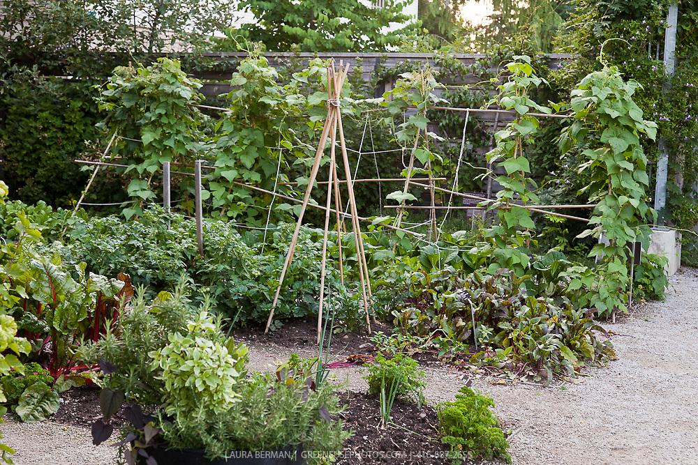 Bean vines growing on trellises in a lush, mid-summer kitchen garden.