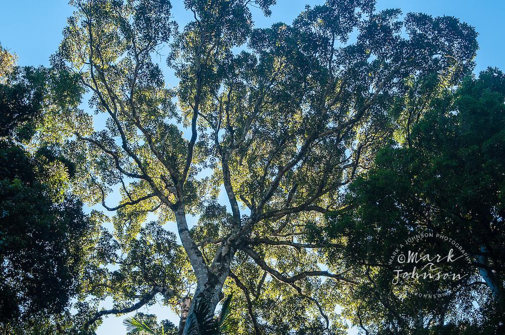 Rain forest tree, Mt. Mitchell, Main Range National Park, Queensland, Australia