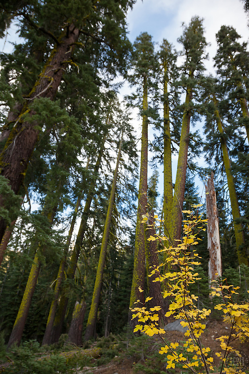 """""""Fall Foliage in the Forest"""" - This yellow leaved plant was photographed in the Blackwood Canyon forest in Autumn."""