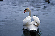 Profile of a swan