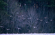 Canada Geese over snow covered field - Delaware