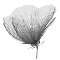 X-ray image of a midnight marvel hibiscus flower (Hibiscus 'Midnight Marvel', black on white) by Jim Wehtje, specialist in x-ray art and design images.