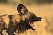 The endangered african wild dog has a hunting success rate of 80% due to its pack hunting and ability to chase large prey to exhaustion, reaching speeds of over 40 miles per hour for 5 - 10 minutes.