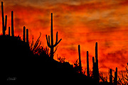 Saguaro cactus (Carnegiea gigantea) stand in silhouette before the clouds of a passing storm and veils of mist from the recent rain, glowing from the Arizona desert sunset.  The Saguaro cactus can grow 50-feet-tall, is composed of 85% water, and can weigh over 8 tons.  They are the largest member of the cactus family in the United States. Their skin is smooth and waxy with stout, 2-inch spines clustered on their ribs. The outer pulp can expand like an accordion when water is absorbed, increasing the diameter of the stem and raising its weight by up to a ton.  <br /> <br /> The Saguaro generally takes 47 to 67 years to attain a height of 6 feet, and can live for 150 &ndash; 200 years.  During that lifetime, a single cactus will produce 40 million seeds; however, in its harsh native environment, only one of these seeds will survive to replace the parent plant.  Indeed, young Saguaro&rsquo;s must start life under a tree or shrub to prevent them from desiccating.
