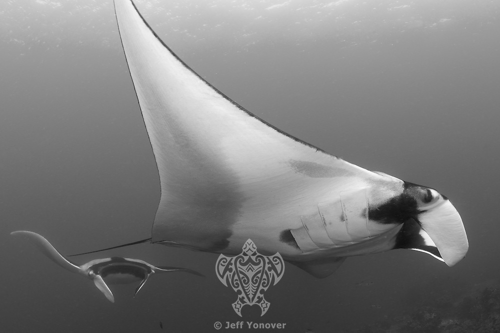 Two large Pelagic Manta Rays over a cleaning station<br /> <br /> Shot in Indonesia