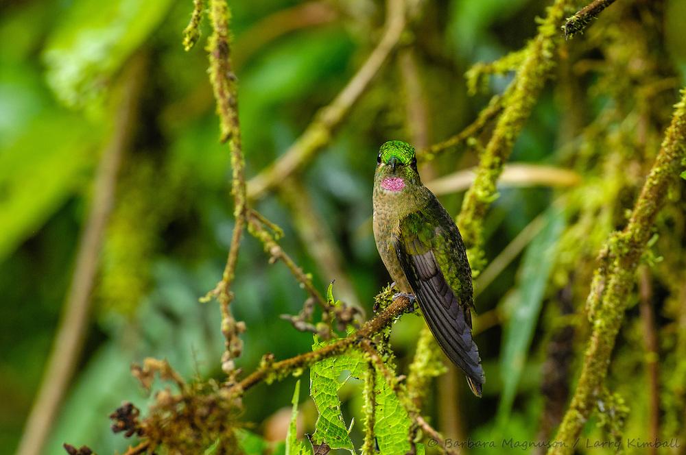 Fawn-Breasted Brilliant Hummingbird [Heliodoxa rubinoides ssp. cervinigularis] male; perched, Cabanas San Isidro, Ecuador