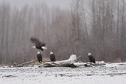 Bald eagles (Haliaeetus leucocephalus) sit on the bank of the Chilkat River as it snows in the Alaska Chilkat Bald Eagle Preserve near Haines, Alaska. During late fall, bald eagles congregate along the Chilkat River in the Alaska Chilkat Bald Eagle Preserve to feed on salmon in what is believed to be the largest gathering of bald eagles in the world.