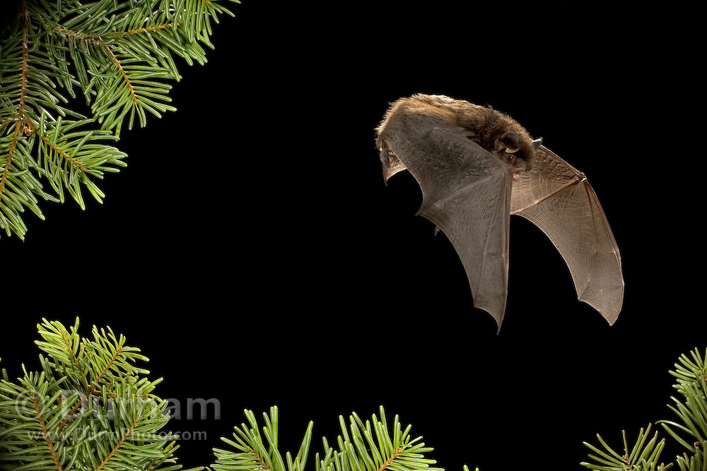 A forest dwelling silver-haired bat (Lasionycteris noctivagans) in the Rogue River National Forest, Oregon.