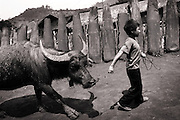 A boy leads his Water Buffalo past a fence made from bomb casings. Xieng Khouang province, northern Laos.