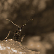 Formicidae sp.