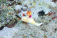 Bullock's Hypselodoris-Doris de Bullock ( Hypselodoris bullockii), Bali island, Indonesia.