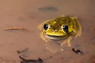 Emerald-eyed tree frog (Hypsiboas crepitans) in situ. Iwokrama forest, Guyana.