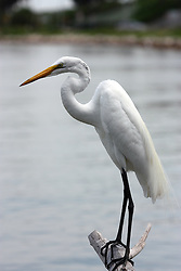 White Egret peched on a log by the water