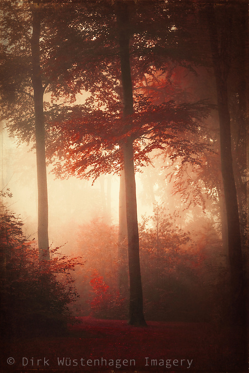 Red tinted beech tree forest on a misty morning - textured photograph
