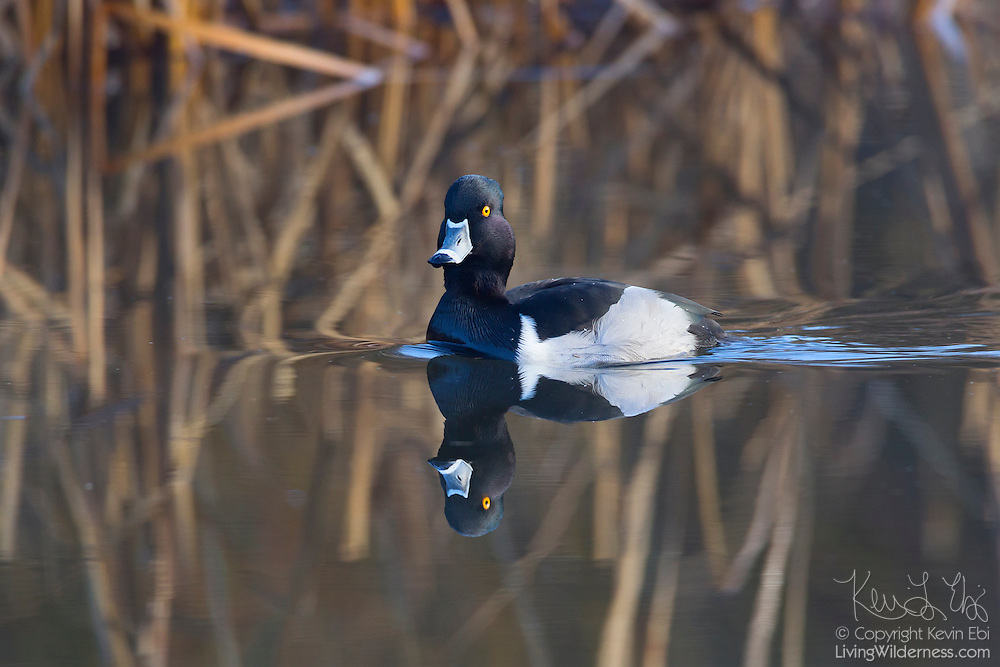 A male ring-necked duck (Aythya collaris) displaying its breeding plumage rests on Scriber Lake in Lynnwood, Washington. Ring-necked ducks are found on small, wooded ponds. They feed by diving and mainly eat aquatic plants and insects and small fish.