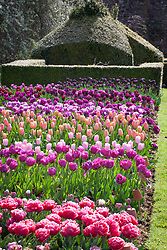 The tulip trial at Parham House and Gardens