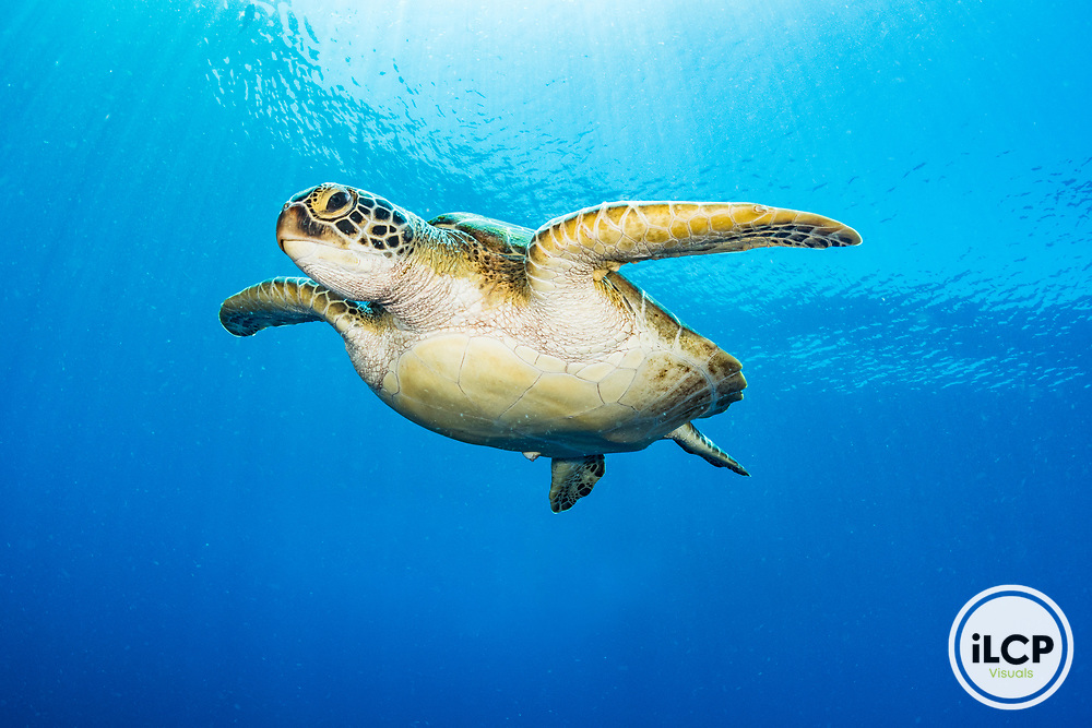 A green sea turtle (Chelonia mydas) underwater on blue background. Image made in Indonesia