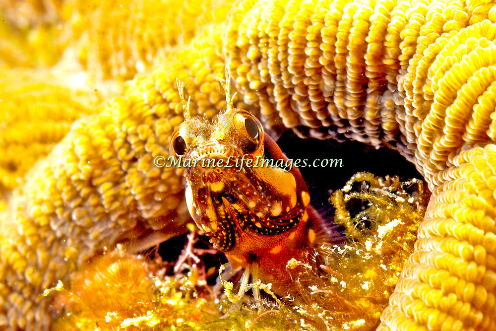 Speckled Blenny inhabit inshore areas of coral and rubble, in Costa Rica, Panama and Colomiba; reside in worm and other holes, extending head and forebody; picture taken Panama near San Blas Islands.