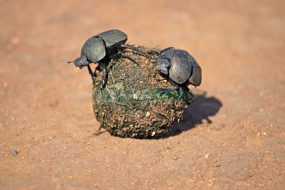 July 6, 2015 - Dung Beetles on elephant dung, Madkiwe National Park, South Africa / (Pachylomeras femoralis) / freistellbar (Credit Image: © Tuns/DPA/ZUMA Wire)