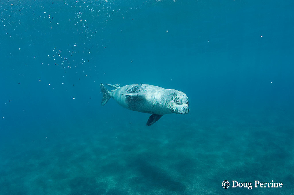 Mediterranean monk seal, Monachus monachus, Critically Endangered Species, mature male, Deserta Grande, Ilhas Desertas, Parque Natural da Madeira, Portugal ( Atlantic Ocean )