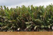 Nipa palms (Nypa frutians) growing along the banks of Kinabatangan River, Sabah, Borneo.