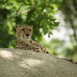 Cheetah on a rock observing the surrounding.