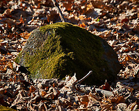 Rock covered with moss at the Sourland Mountain Preserve. Winter Nature in New Jersey. Image taken with a Nikon D3x camera and 80-400 mm VR lens.