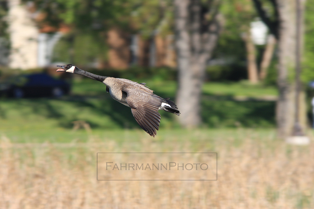 A honking Canadian Goose takes off from Lake Nokomis during the fall migration south