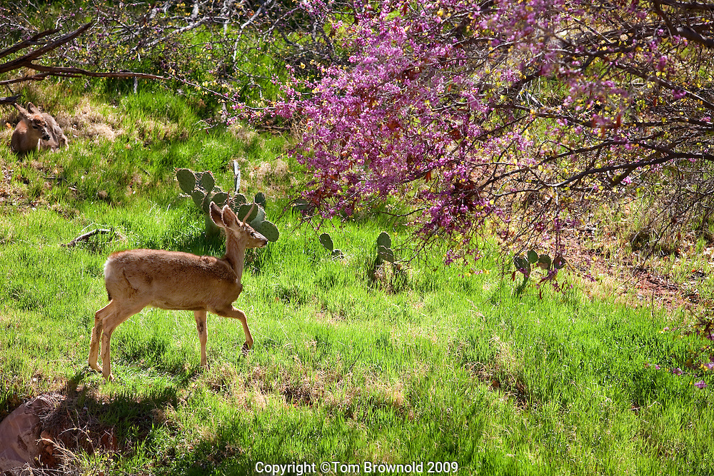 Mule deer bedding down in the grasses and redbud trees of Indian Garden.