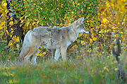 Western coyote at edge of aspen forest<br /> Elk Island National Park<br /> Alberta<br /> Canada
