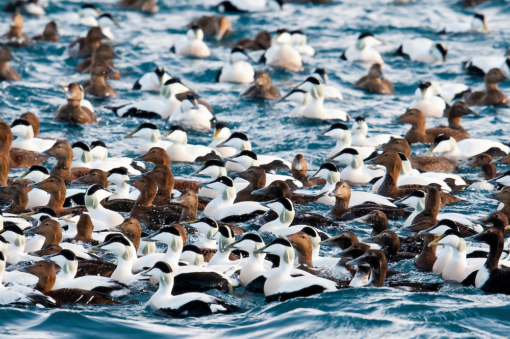 Common Eiders, Somateria mollissima, Barents Sea, Norway
