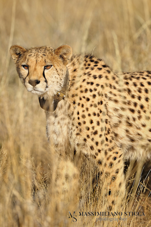 The cheetah (Acinonyx jubatus) is a large-sized feline (family Felidae, subfamily Felinae) inhabiting most of Africa and parts of the Middle East. It is the only extant member of the genus Acinonyx. The cheetah can run faster than any other land animal? as fast as 112 to 120 km/h (70 to 75 mph) in short bursts covering distances up to 500 m (1,600 ft), and has the ability to accelerate from 0 to over 100 km/h (62 mph) in three seconds.