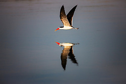 An African Skimmer (Rynchops flavirostris) is reflected as it flies just above the calm water of a lagoon, Okavango Delta, Botswana, Africa