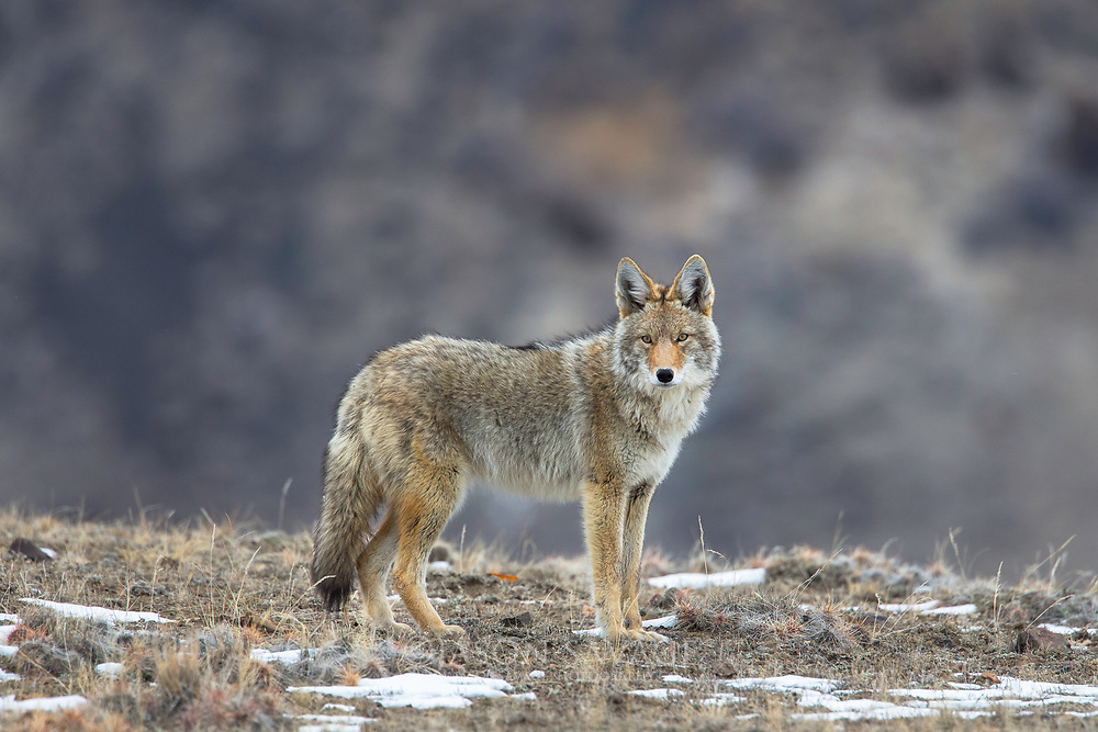 Coyote near Yellowstone National Park.