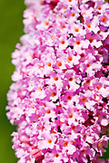 Purple Buddleia Davidii butterfly bush in country garden, UK
