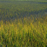 South Carolina marsh grass along the coastline near Myrtle Beach