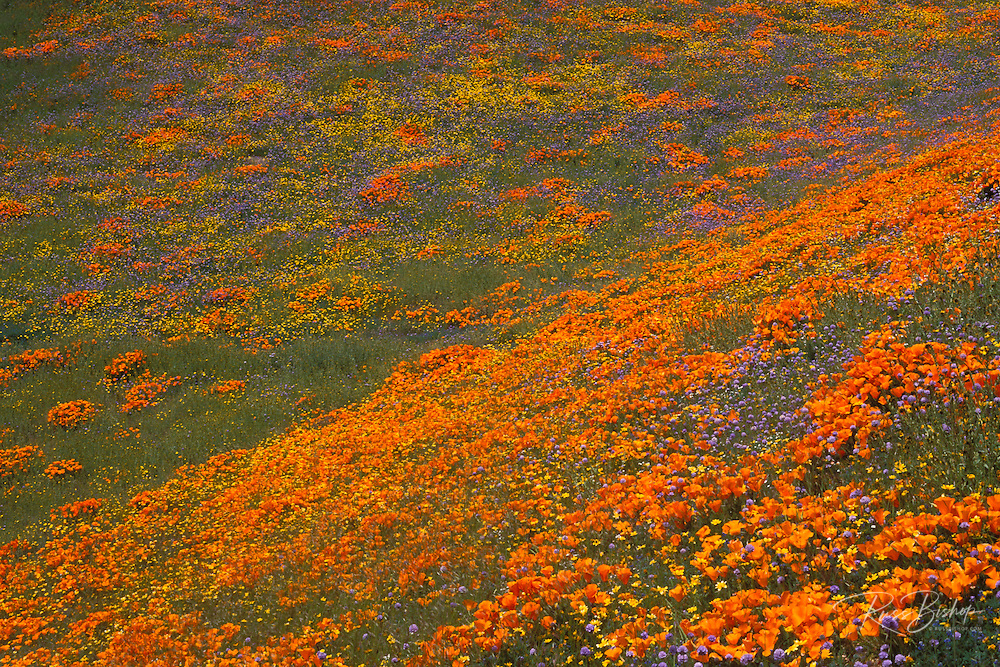 Coreopsis (Coreopsis californica), owl's clover (Castilleja exserta), and California poppies (Eschscholzia californica) in the Tehachapi Mountains, Angeles National Forest, California