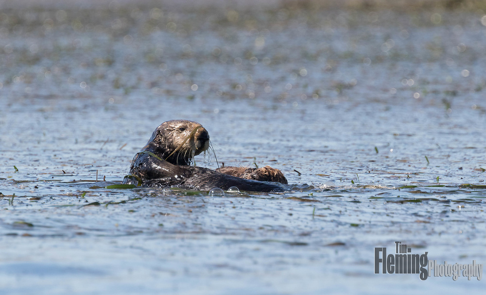 California sea otters often wrap themselves in kelp (shown here) to keep themselves from drifting when resting. A mother will wrap her baby in kelp while she dives for food.