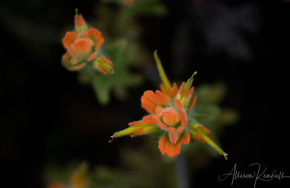 Fuzzy orange petals and bright green leaves of a California wildflower against a dark background