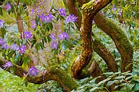 Purple Azelia flowers and thick trunks