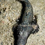 Juvenile Crocodile Fish Cymbacephalus beauforti at Lembeh Straits, Indonesia.