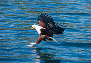 African fish eagle (Haliaeetus vocifer) hunting fish, Cape Maclear, Malawi, Africa