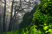 Misty beech forest in Central Balkan NP at springtime