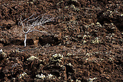 Palo santo tree (Bursera galapageia) and cinder cone in the arid zone of Floreana Island. <br /> Galapagos Islands<br /> ECUADOR.  South America<br /> These trees loose their leaves during the dry season. Almost all plants in the arid zone have deep or widespread roots, causing even-spacing as seen with these trees. Palo santo wood is burnt as insense in the Catholic Churches of Ecuador.